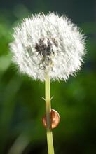 Snail Behind Dandelion Stem