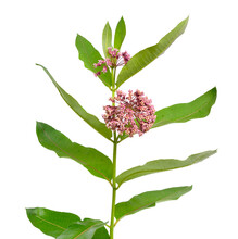 Asclepias Syriaca, Commonly Called Common Milkweed, Butterfly Flower, Silkweed, Silky Swallow-wort. Isolated On White