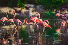 A Flock Of Exotic Birds Pink Flamingos Walking In The Water In Golden Light At Sunset. Wildlife Nature Scene. Love And Romantic Concept