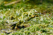 Water Frog In The Dunes Of The...
