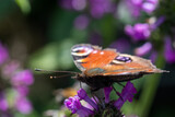 Fototapeta Londyn - peackock butterfly close-up