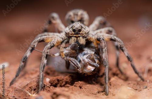 Fotografija Wolf spider (Lycosa hispanica) beheading its prey, a cicada.