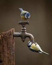 Image Of Blue Tit Bird Cyanist...