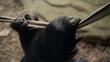 łapa dłoń ręka goryla w klatce w zoo z bliska