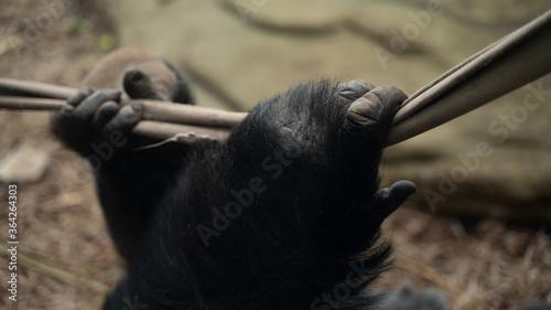 Fototapeta łapa dłoń ręka goryla w klatce w zoo z bliska obraz