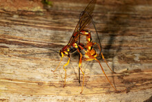 An Ichneumon Wasp Megarhyssa Boring Wood And Depositing An Egg Into A Tunnel In Deadwood Bored By Its Host, The Larva Of A Large Species Of Horntail