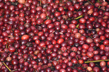Vibrant Red Cranberries Floati...
