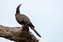 Coliou Rayé,.Colius Striatus, Speckled Mousebird