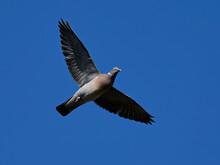 Common Wood Pigeon (Columba Pa...