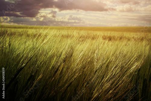 Fototapeta wheat field obraz