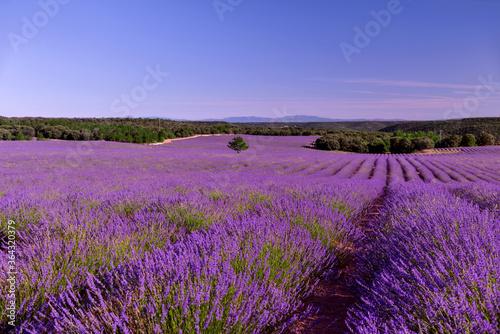 Fototapeta Briuhega, Spain: 07.04.2020; The landscape of beautiful extended lavender field obraz na płótnie