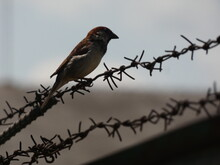 House Sparrow (Passer Domestic...
