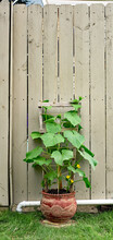 Urban Gardening Of Cucumber Along Fence