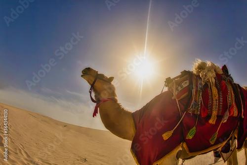 canel standing in the sand of the desert Fototapet