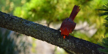 Cardinals, In The Family Cardinalidae, Are Passerine Birds Found In North And South America. They Are Also Known As Cardinal-grosbeaks And Cardinal-buntings.
