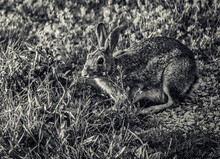 A Cotton Tail Rabbit Waits In ...