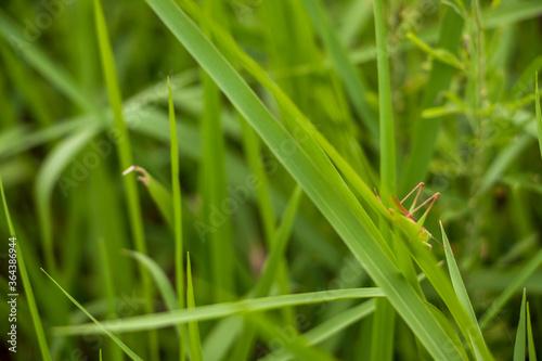 草むらに潜む小さなバッタ Tapéta, Fotótapéta