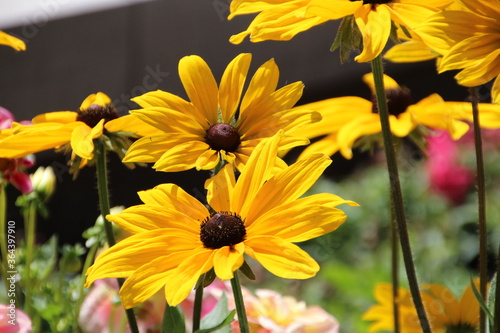 Fotografia, Obraz Glory Of The Black Eyed Susan, U of A Botanic Gardens, Devon, Alberta