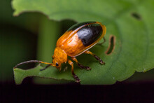 Cucumber Beetles Are Catching On The Leaves