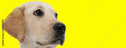 Fototapeta Curious golden Labrador Retriever looking away focused obraz