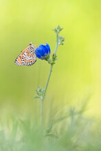 Spotted Fritillary On Blue Flower At Morning (Melitaea Didyma)
