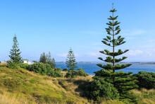 Young Norfolk Island Pine Trees Growing On The Coast. Pukehina Beach, Bay Of Plenty, New Zealand