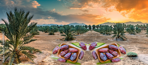 Obraz Plantation of date palms, image depicts agriculture industry in desert areas of the Middle East. Fruits of dates are digitally incorporated in foreground of image - fototapety do salonu