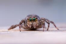 Jumping Spider, Jumping As Far...