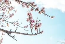 Closeup Shot Of Blooming Cherry Blossoms Under A Blue Sky