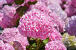 canvas print picture - French hydrangea
