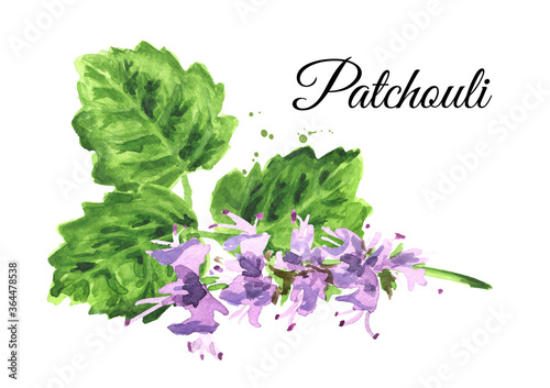 Fotografía Plant patchouli or Pogostemon cablini,  flowers and leaves, Hand drawn watercolo