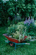 Wheelbarrow Full Of Plants In A Wild Garden