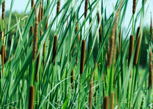Typha Anginatifolia Perennial Water And Marsh Herbaceous Plant Species Of The Genus Rogoz