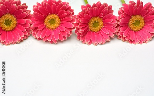 Closeup of pink Barberton daisies on a white background with space for your text Canvas Print