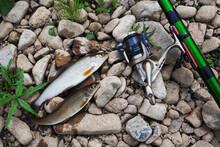 European Grayling (Thymallus Thymallus) Closeup Lying On Pebbles Next To A Fishing Rod. Fishing.