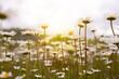 Field of daisies in sunlight, wild flowers in summer