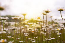Field Of Daisies In Sunlight, Wild Flowers In Summer