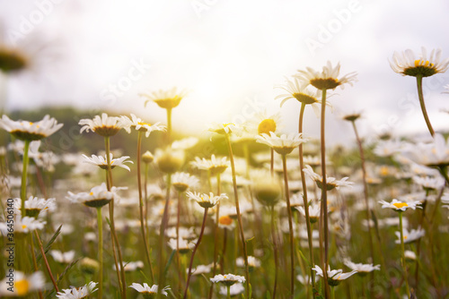Photo Field of daisies in sunlight, wild flowers in summer