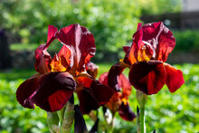 Dark Red / Burgund Irises With Yellow Centers On A Spring Green Field / In A Sunny Garden