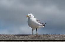 Sea Gull Landing On A Plank Wall
