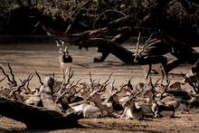 Black Buck IN The Woods