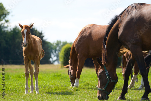 Fotografiet Brown baby foal horse and mother at the ranch eating grass