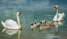 Swan Family On The Lake. Little Swans With Their Mother And Father
