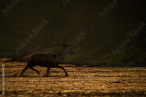 Obraz Red Deer stag in the forest. Bieszczady. Carpathian Mountains. Poland. - fototapety do salonu