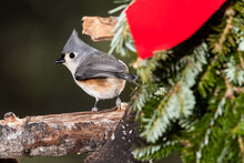 Tufted Titmouse Playing With A...