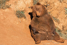 Wild Brown Bear Sitting Relaxi...