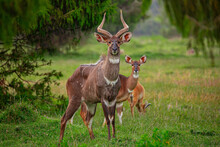 Herd Of Wild Antelopes Grazing...