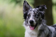 Furry Black Border Collie Dog With White Spot On Green Grass During Walk In Spring Forest
