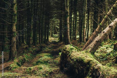 Trunks of dead trees fallen in middle of evergreen dark majestic forest in Ireland - 364560930