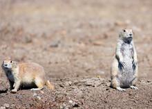 Prairie Dog Duo